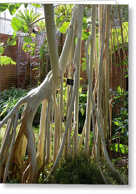 Indian Banyan Tree (ficus Benghalensis) Greeting Card by Jim West