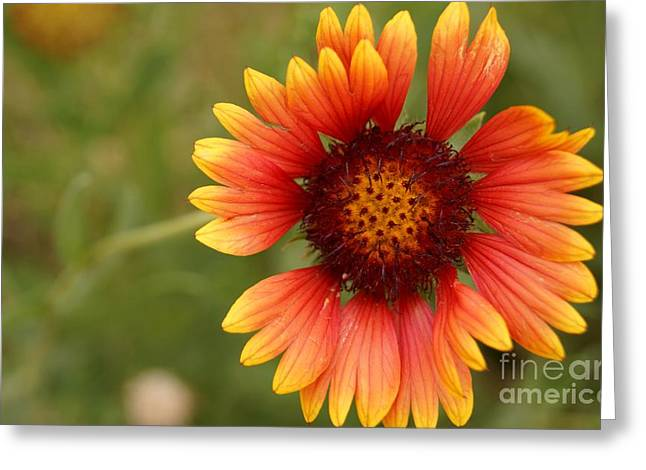 Indian Blanket Flower Greeting Card