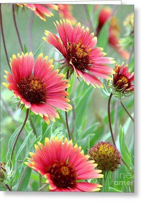 Indian Blanket Wildflowers Greeting Card by Robert Frederick