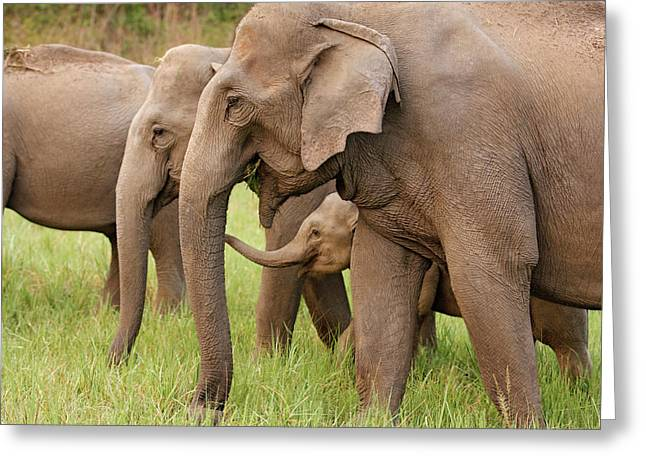 Indian Elephant Calf Playing Greeting Card