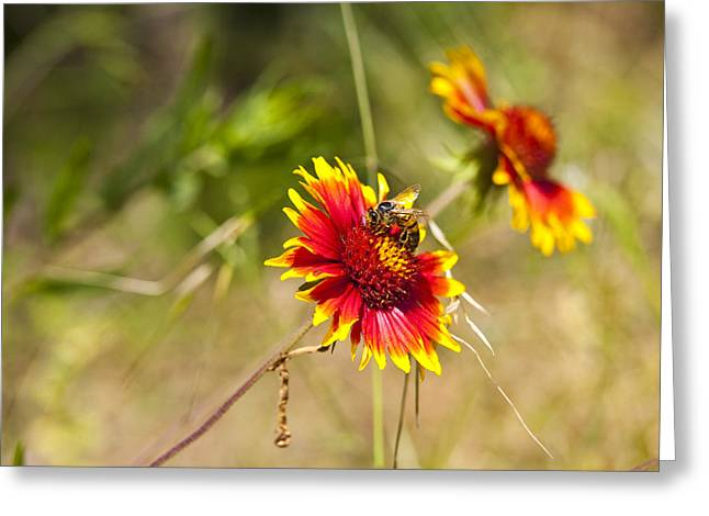 Indian Fire Wheels With Bee Greeting Card by Mark Weaver