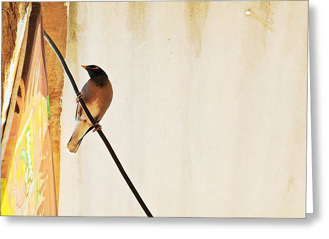 Indian Myna Comes To Dinner Greeting Card by Kantilal Patel