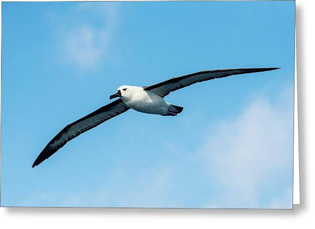 Indian Ocean Yellow-nosed Albatross Greeting Card by Peter Chadwick