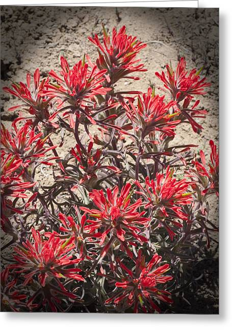 Greeting Card featuring the photograph Indian Paint Brush by Daniel Hebard