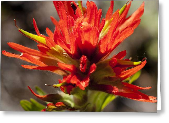 Greeting Card featuring the photograph Indian Paintbrush by Belinda Greb