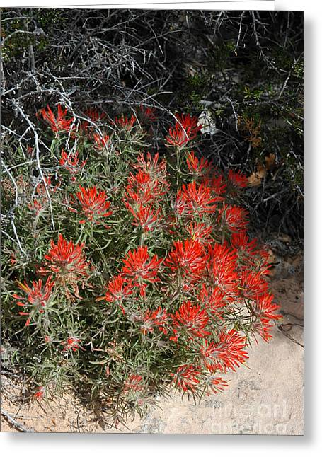 333p Indian Paintbrush Flower Greeting Card