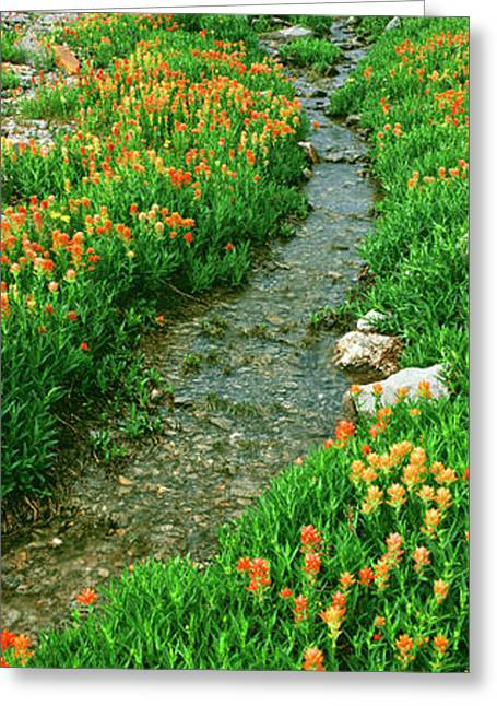 Indian Paintbrush Wildflowers Greeting Card by Panoramic Images