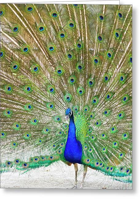 Indian Peafowl (pavo Cristata Greeting Card by Larry Ditto