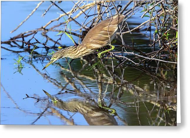 Indian Pond Heron Hunting Greeting Card by Peter J. Raymond