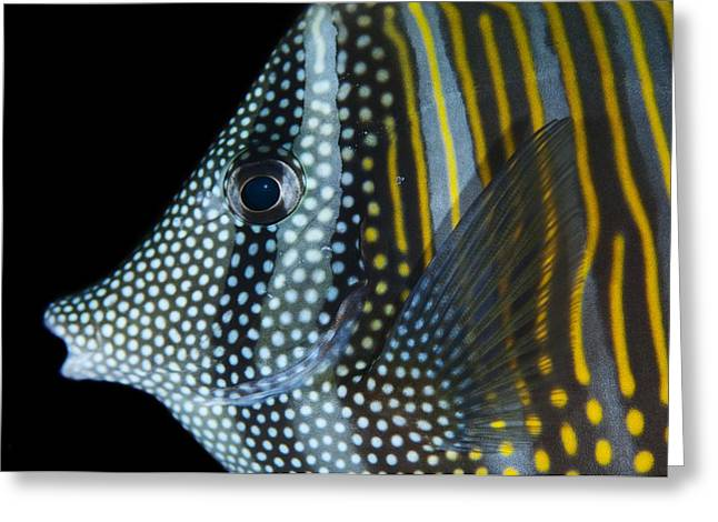 Indian Sailfin Tang In The Maldives Greeting Card by Science Photo Library
