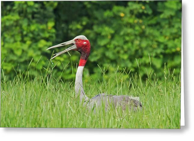 Indian Saras Crane At The Nest Greeting Card by Jagdeep Rajput