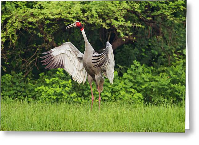 Indian Saras Crane, Flapping Wings Greeting Card by Jagdeep Rajput