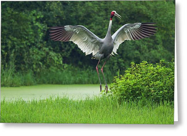 Indian Saras Crane, Jumping, Keoladeo Greeting Card by Jagdeep Rajput