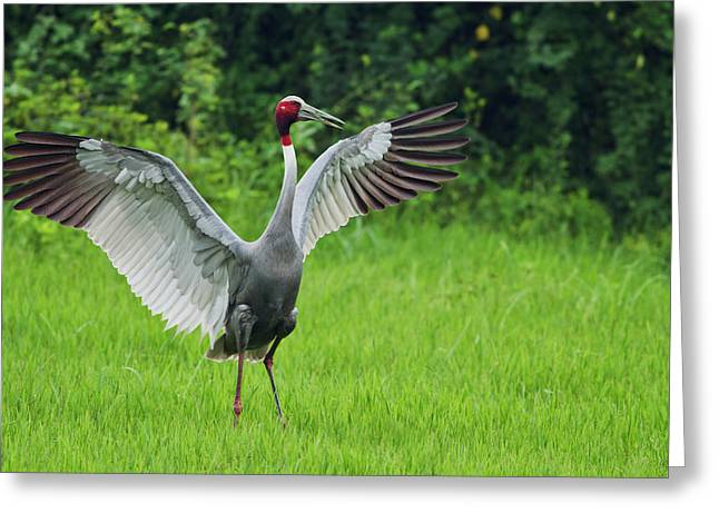 Indian Saras Crane, Stretching Wings Greeting Card by Jagdeep Rajput