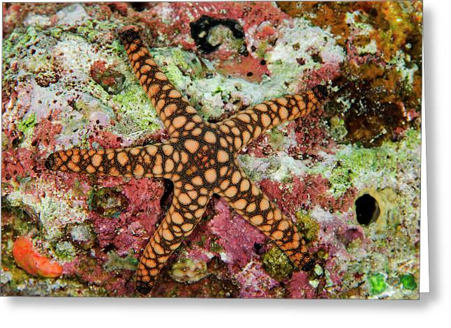 Indian Sea Star (fromia Indica Greeting Card by Pete Oxford