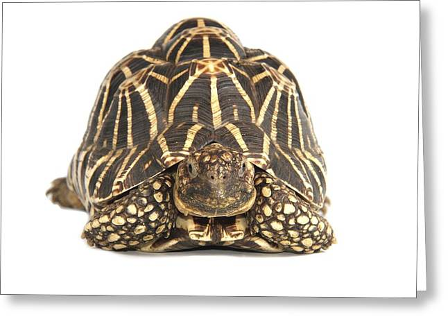Indian Star Tortoise Greeting Card