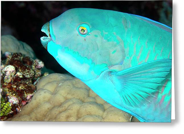 Indian Steephead Parrotfish On A Reef Greeting Card