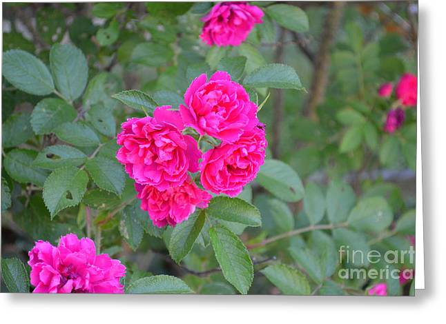 Indiana Roses Greeting Card by Alys Caviness-Gober