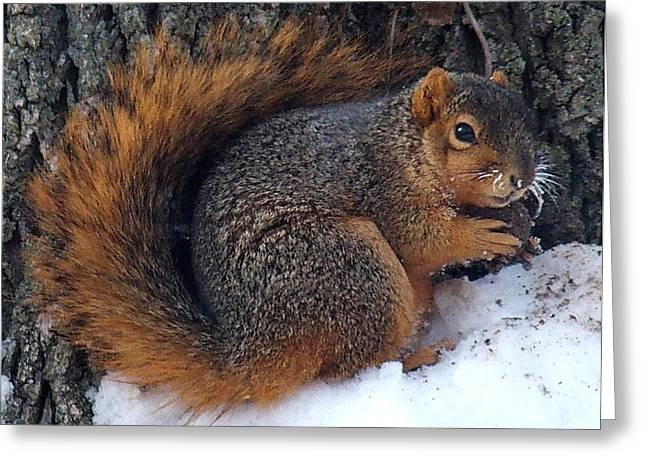 Indiana Squirrel In Winter With Nut Greeting Card