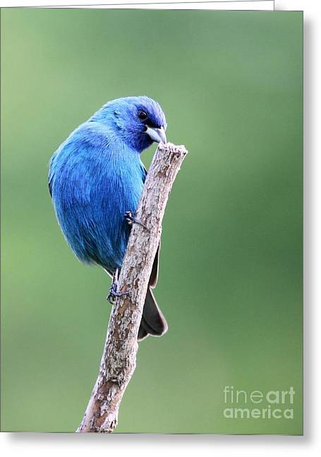 Indigo Bunting Greeting Card