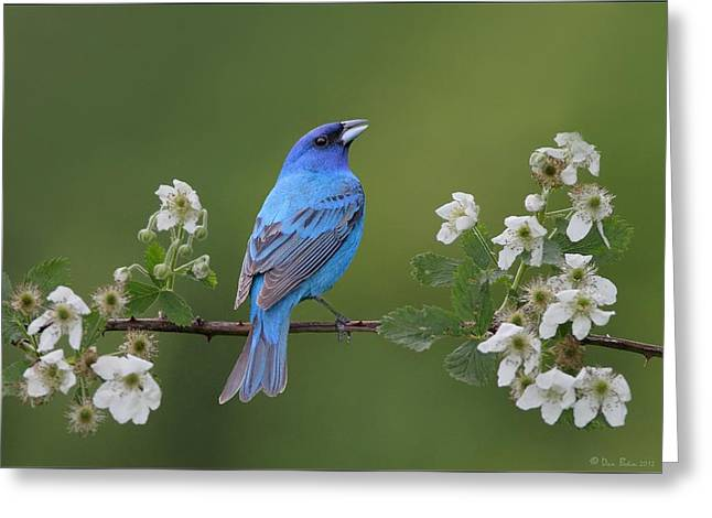 Indigo Bunting On Berry Blossoms Greeting Card by Daniel Behm