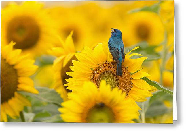 Indigo Bunting On Sunflower Greeting Card