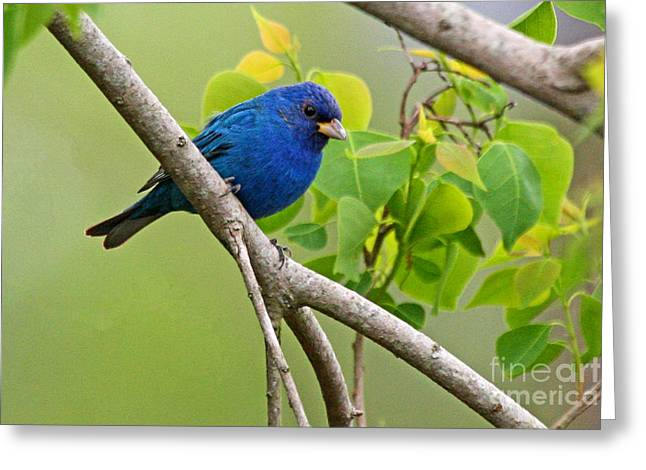 Blue Indigo Bunting Bird  Greeting Card