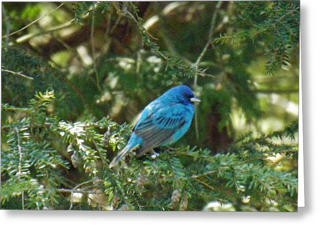 Indigo Bunting Visit Greeting Card