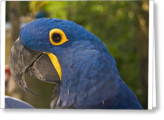 Indigo Macaw Greeting Card