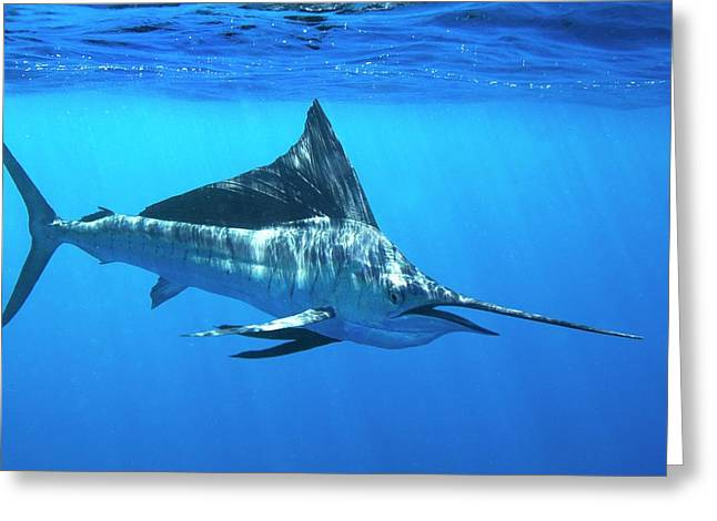 Indo-pacific Sailfish Greeting Card by Christopher Swann