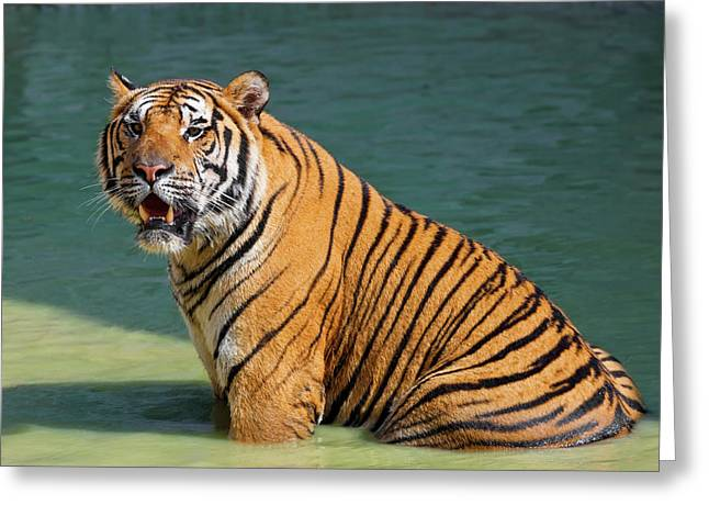 Indochinese Tiger Or Corbett's Tiger Greeting Card by Peter Adams
