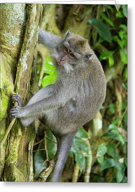 Indonesia, Bali The Monkey Forest Greeting Card by Emily Wilson