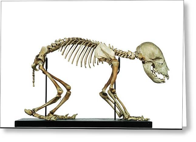 Infant Bear Skeleton Greeting Card