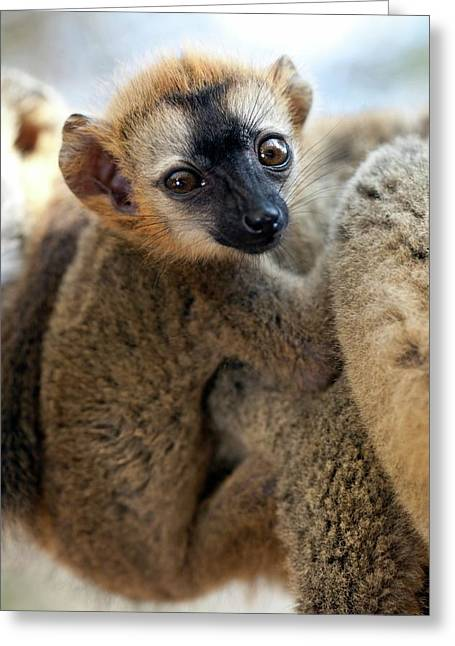 Infant Red-fronted Brown Lemur Greeting Card