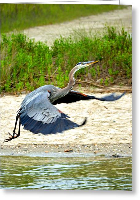 Inflight Great Blue Heron Greeting Card by Sandi OReilly