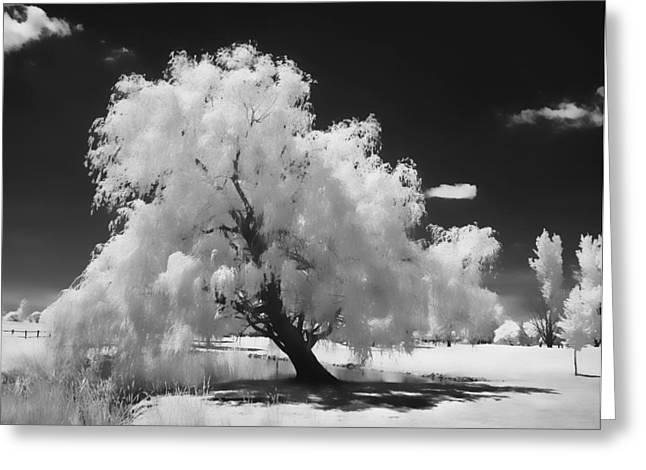 Infrared Willow Tree Study  Greeting Card