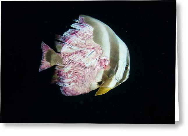 Injured Longfin Spadefish Greeting Card