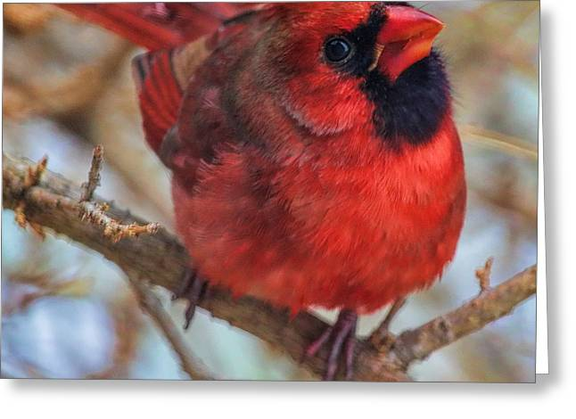 Inquisitive Cardinal Greeting Card