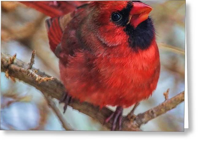 Inquisitive Cardinal Greeting Card