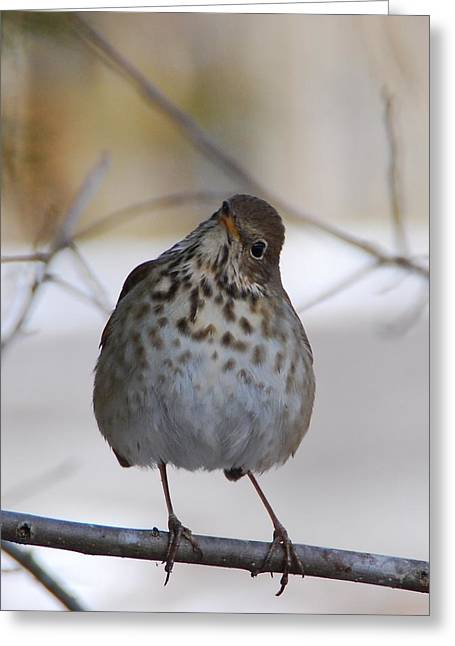 Greeting Card featuring the photograph Inquisitive Hermit Thrush by Cascade Colors