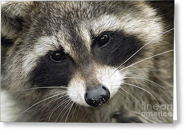 Inquisitive Raccoon Greeting Card by Jane Axman