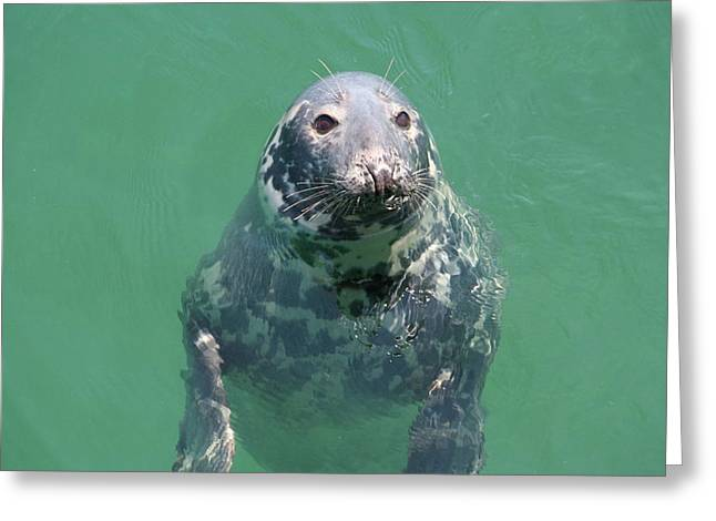 Inquisitive Seal Greeting Card by Jim Gillen