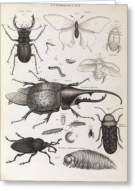 Insect Illustrations, 1823 Greeting Card by Middle Temple Library