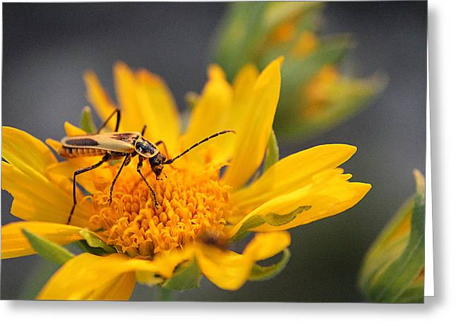 Insect On Cowpen Daisy Greeting Card by Susan Schroeder