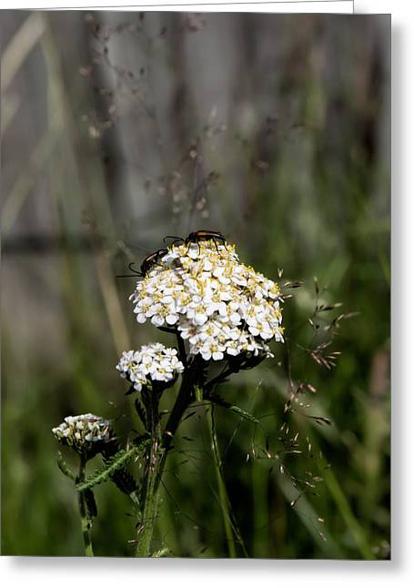 Greeting Card featuring the photograph Insect On White Flower by Leif Sohlman