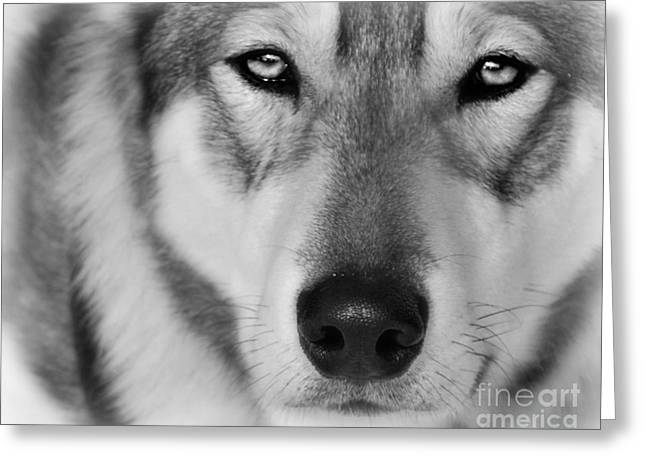 Intence Sled Dog Black And White Greeting Card