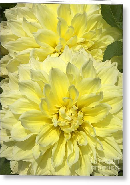 Intense Yellow Dahlias Greeting Card