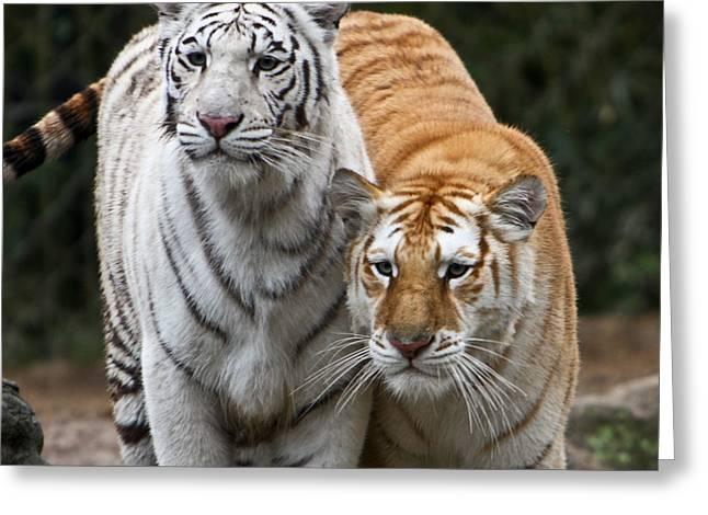 Intent Tigers Greeting Card by Douglas Barnett