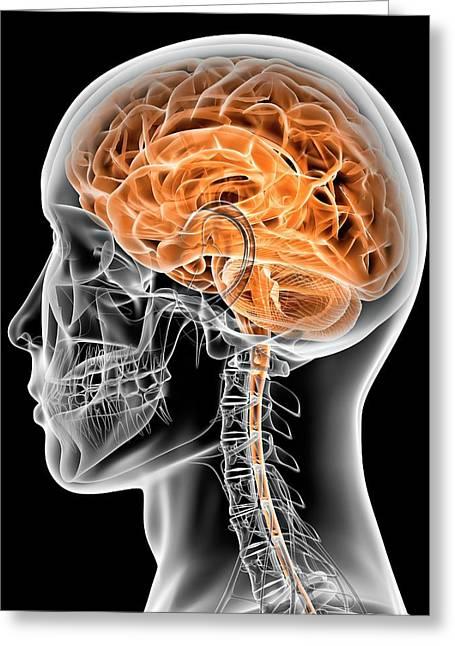 Internal Brain Anatomy Greeting Card