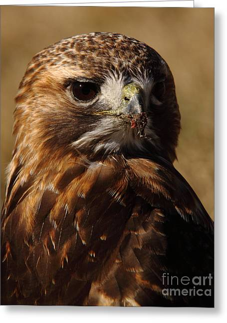 Red Tailed Hawk Portrait Greeting Card by Robert Frederick